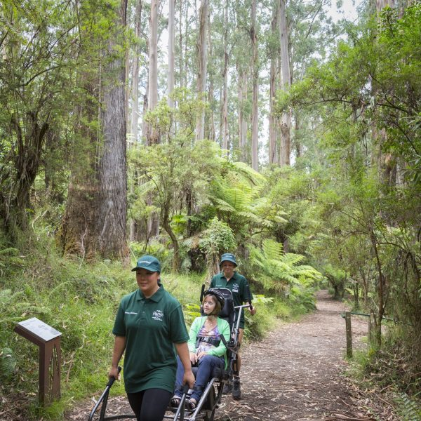 Two Trail Rider Volunteers are assisting a park visitor to explore the Dandenong Ranges using Trail Rider, an all-terrain wheelchair