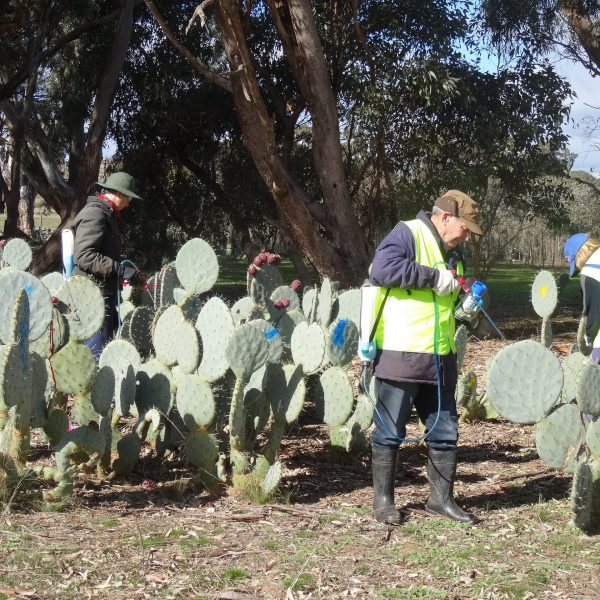 Volunteers are treating and digging up Wheel Cactus plants to help control infestations of this noxious weed on neighbours properties and in local bush reserves.